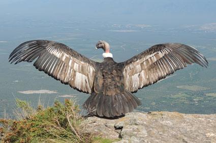 Bioparc-parc-zoologique-projet-nature-condor-9