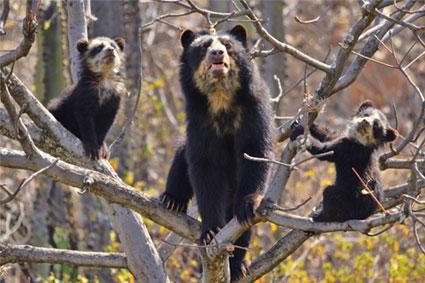 Bioparc-parc-zoologique-projet-nature-ours-perou-4