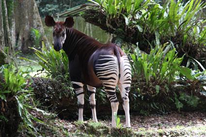 Bioparc-parc-zoologique-projet-nature-okapi-4