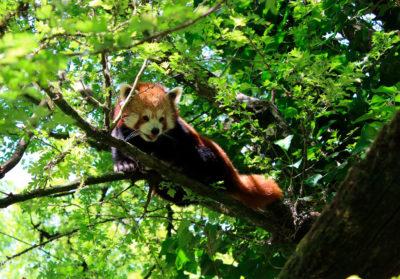 Bioparc-parc-zoologique-projet-nature-panda-1