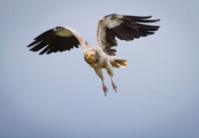 Bioparc-parc-zoologique-projet-nature-percnoptere