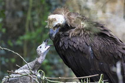 Bioparc-parc-zoologique-projet-nature-vautour-france-1