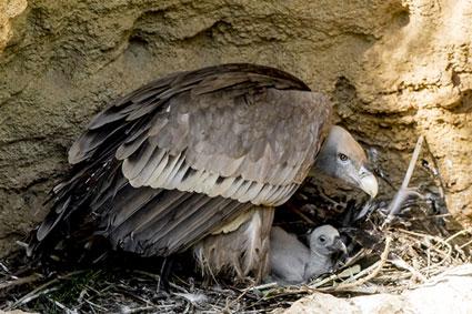 Bioparc-parc-zoologique-projet-nature-vautour-france-3