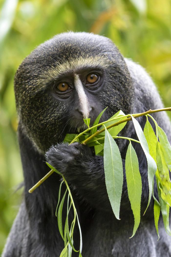 bioparc-parc-zoologique-cercopitheque-hamlyn