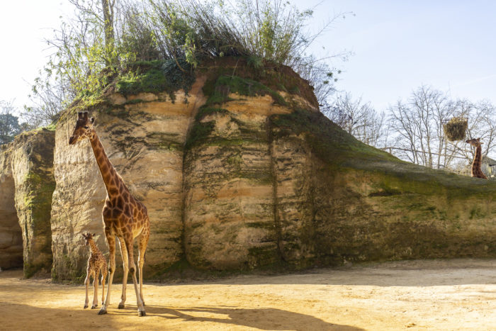 Girafes © Bioparc - P.Chabot