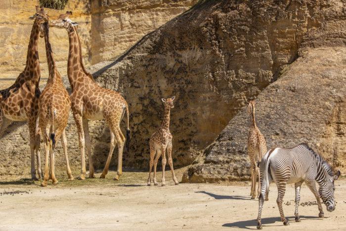 Girafon © Bioparc - P.Chabot
