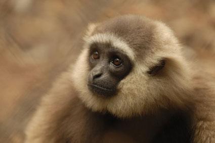 Bioparc-parc-zoologique-projet-nature-gibbon-2