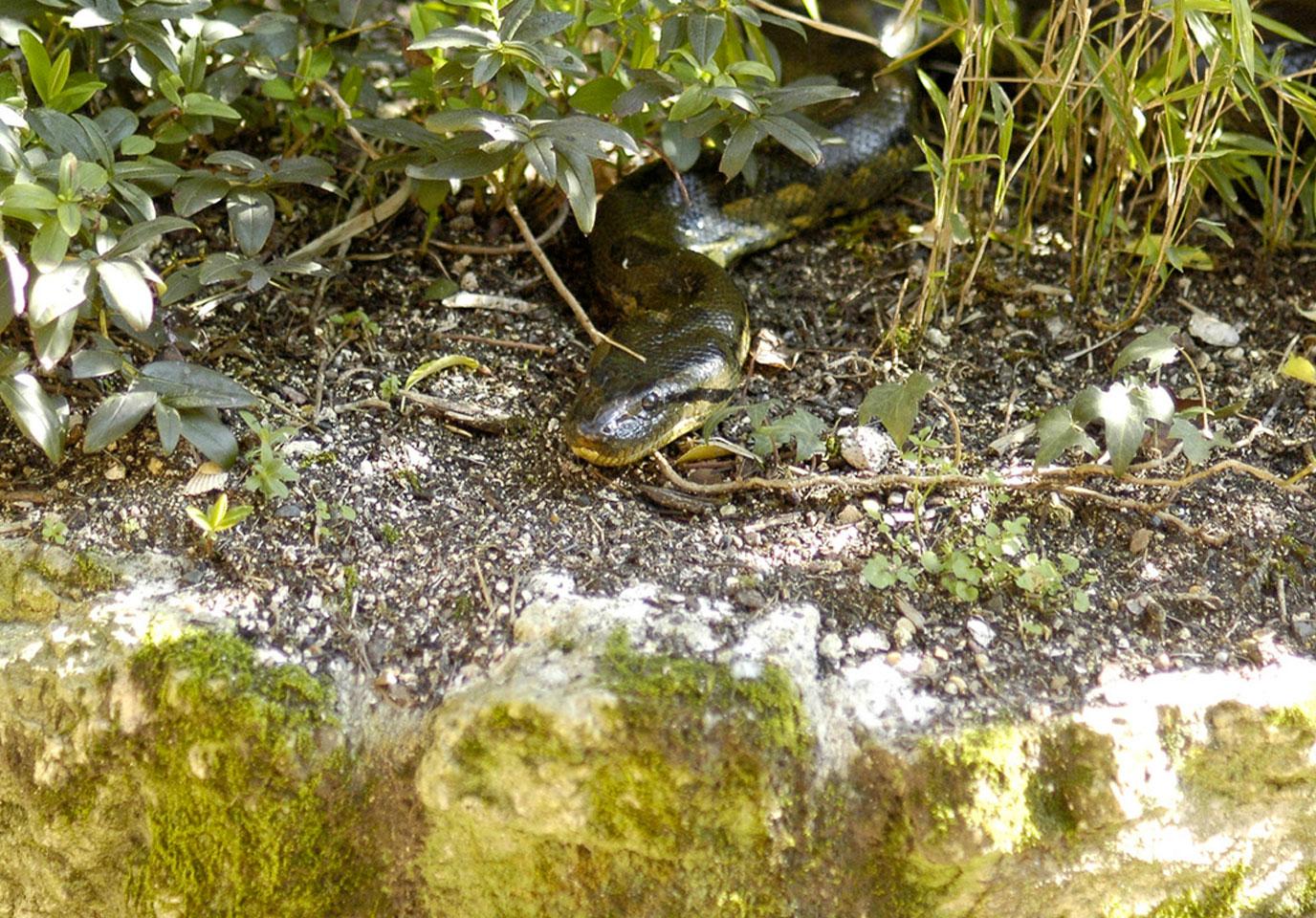 bioparc-parc-zoologique-anaconda-vert