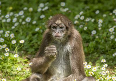bioparc-parc-zoologique-atele-marimonda