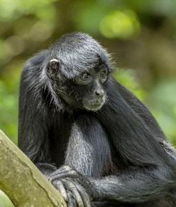 bioparc-parc-zoologique-atele-noir