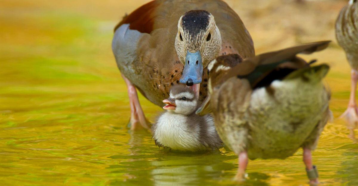 bioparc-parc-zoologique-callonette-a-collier