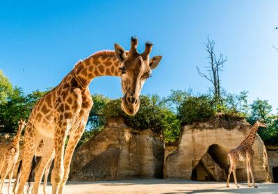 bioparc-parc-zoologique-camp-des-girafes
