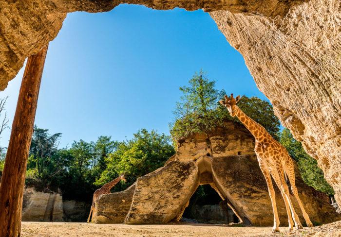 bioparc-parc-zoologique-camp-girafes