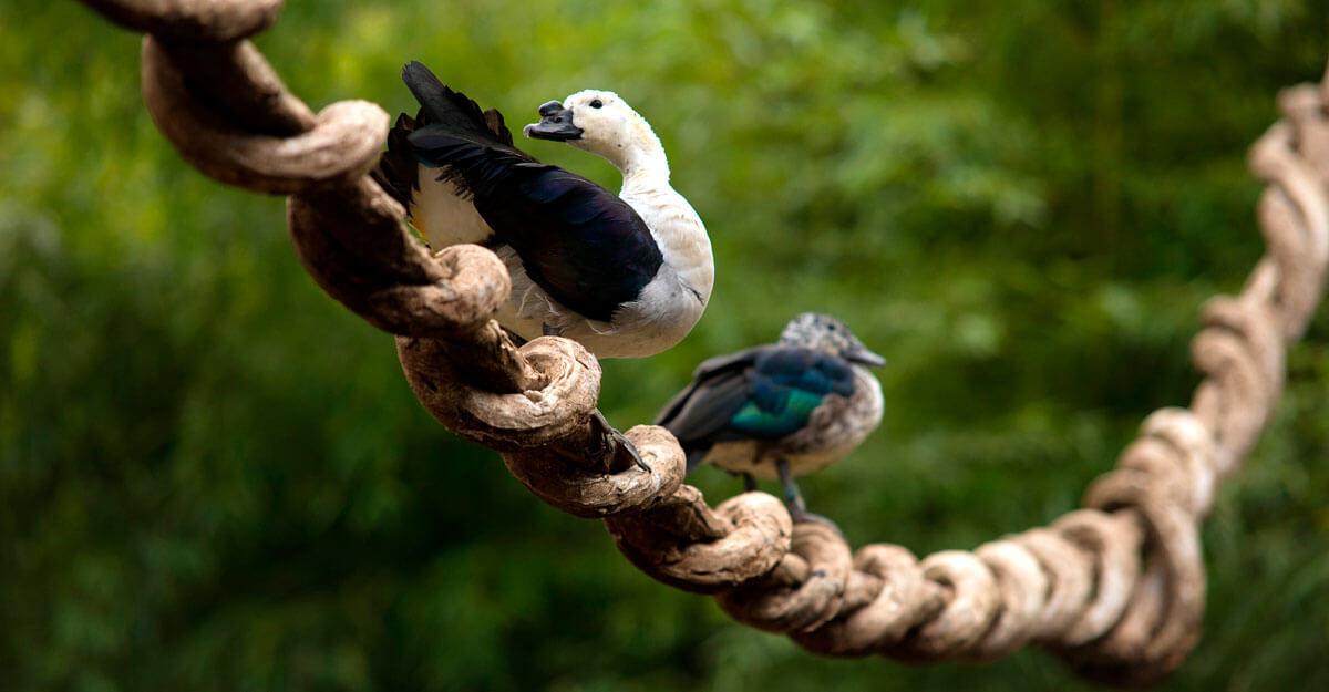 bioparc-parc-zoologique-canard-a-bosse