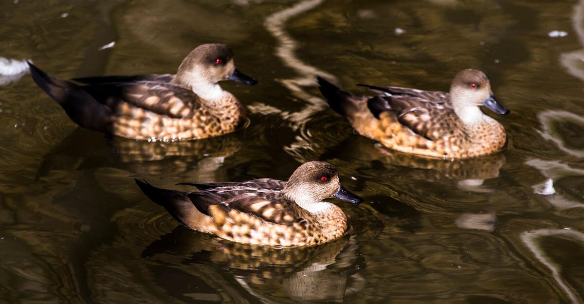 bioparc-parc-zoologique-canard-huppe-patagonie