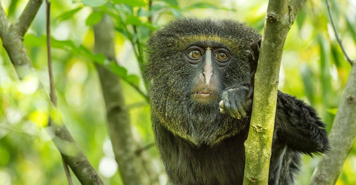 bioparc-parc-zoologique-cercopitheque-a-tete-de-hibou
