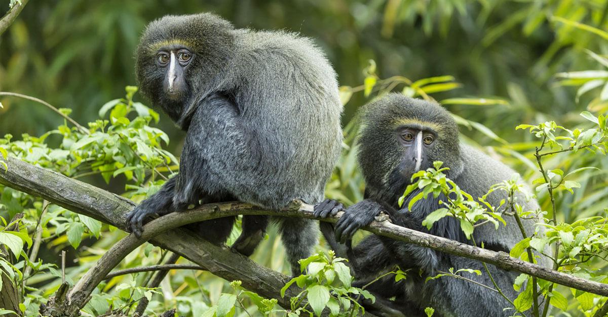 bioparc-parc-zoologique-cercopitheque-hibou