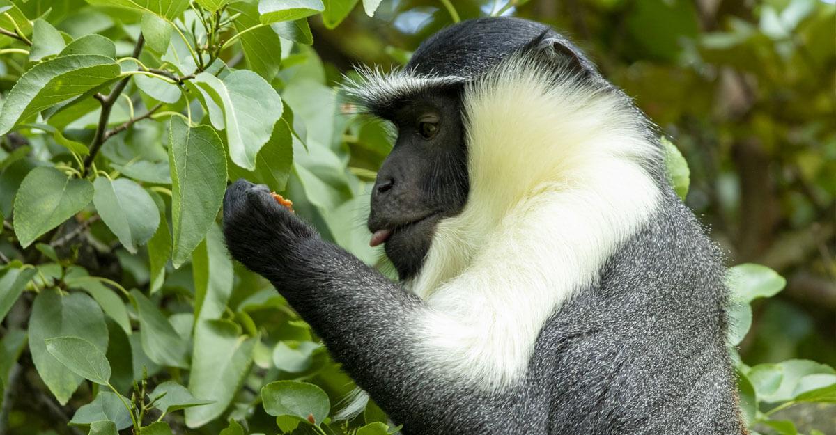 bioparc-parc-zoologique-cercopitheque-roloway