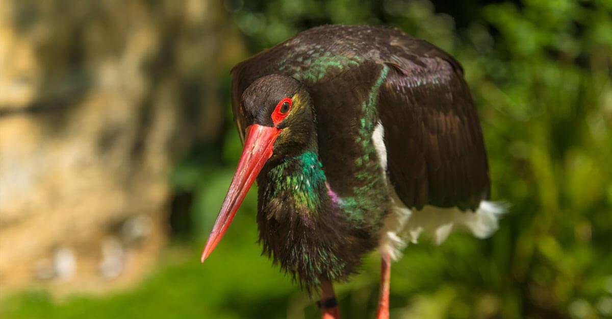 bioparc-parc-zoologique-cigogne-noire