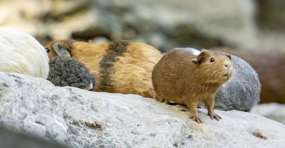 bioparc-parc-zoologique-cobaye