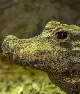 bioparc-parc-zoologique-crocodile-front-large