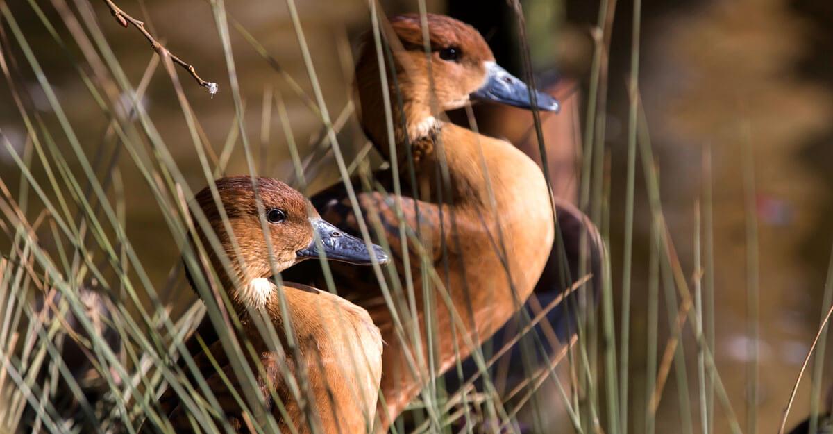 bioparc-parc-zoologique-dendrocygne-fauve