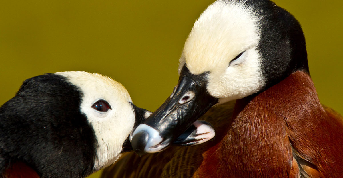 bioparc-parc-zoologique-dendrocygne-veuf