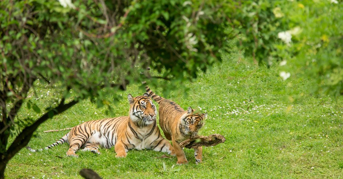 bioparc-parc-zoologique-famille-tigre