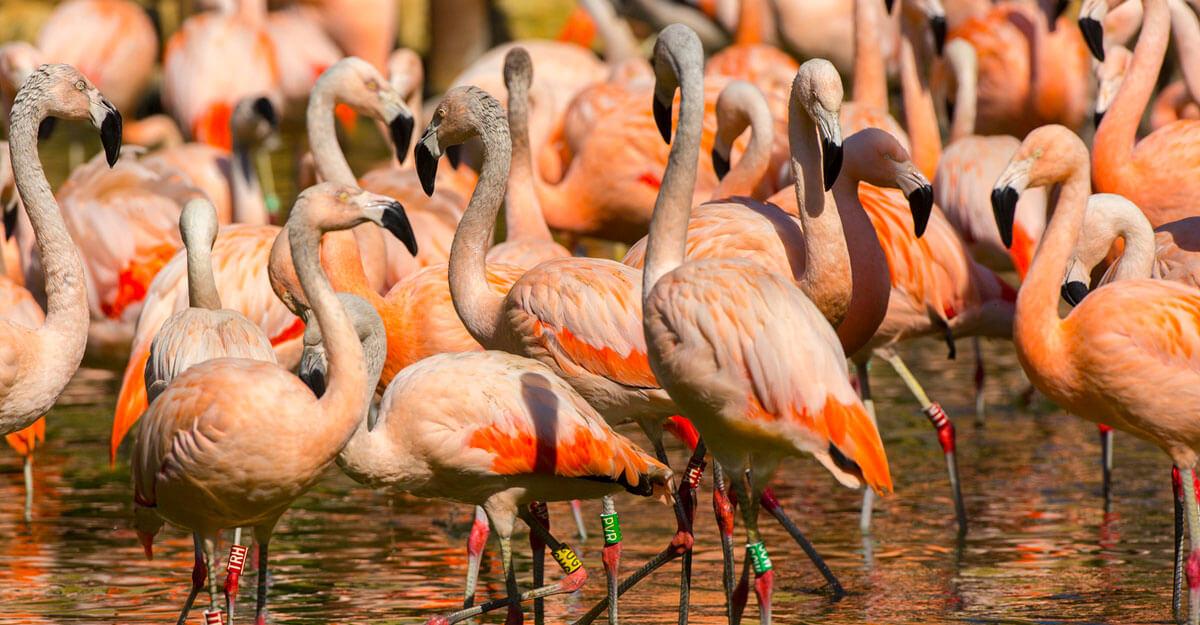 bioparc-parc-zoologique-flamant-chili