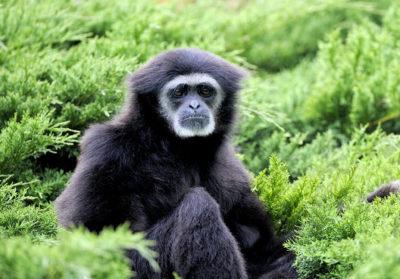 bioparc-parc-zoologique-gibbon-a-mains-blanches