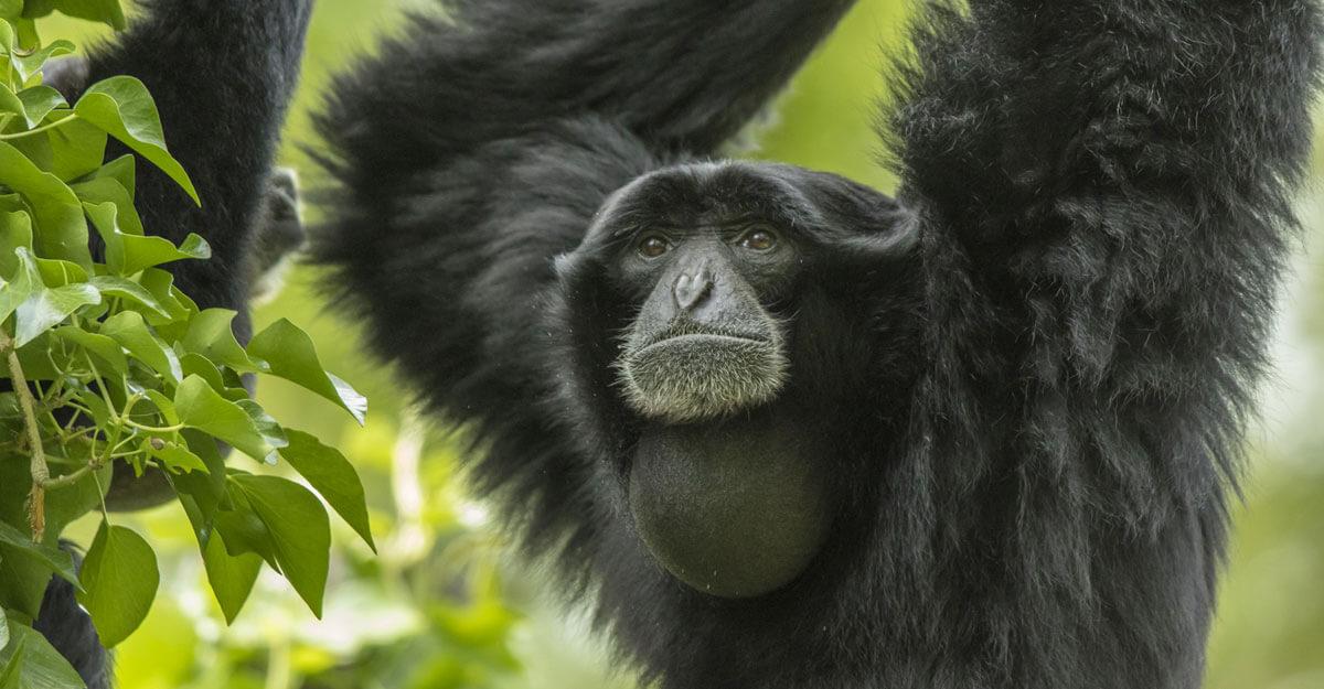 bioparc-parc-zoologique-gibbon-siamang