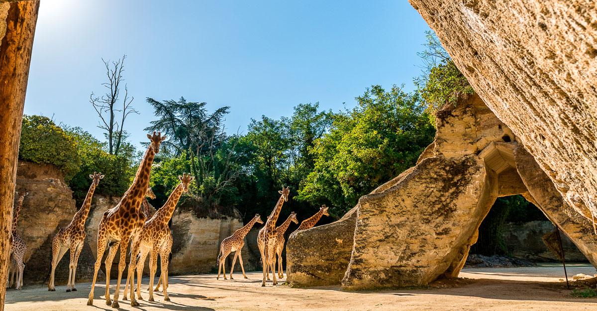bioparc-parc-zoologique-girafes