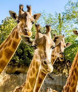 bioparc-parc-zoologique-girafe