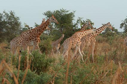 bioparc-parc-zoologique-projet-nature-girafe-niger-ASGN-4