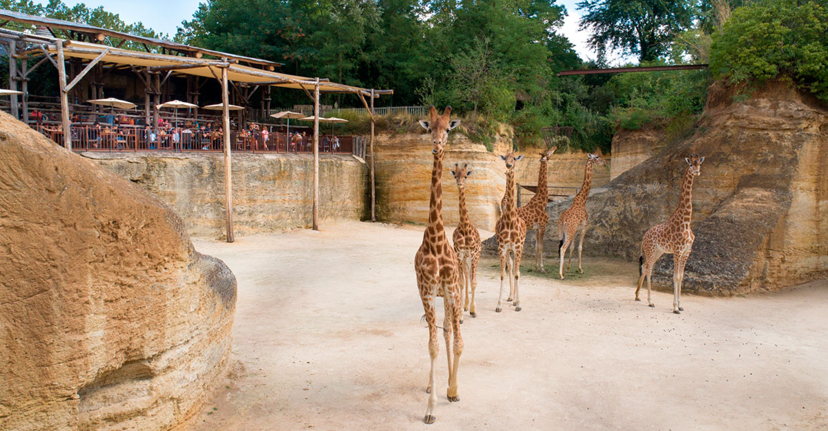 bioparc-parc-zoologique-girafe-restaurant