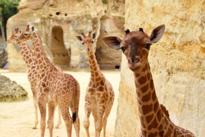 bioparc-parc-zoologique-girafons