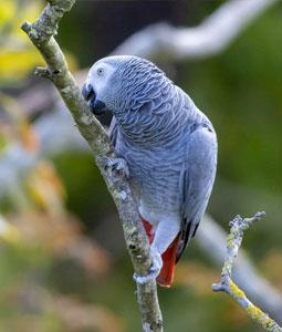 bioparc-parc-zoologique-gris-gabon