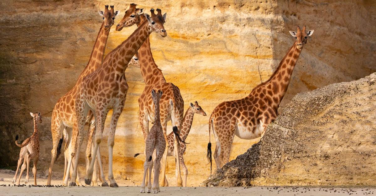 bioparc-parc-zoologique-groupe-girafes