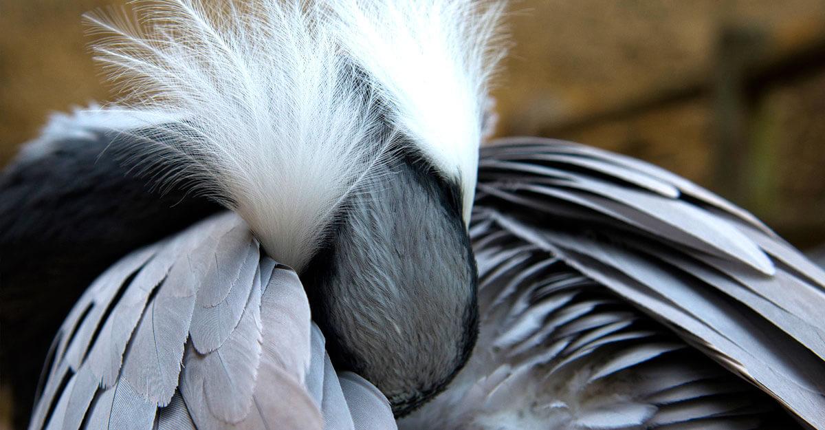 bioparc-parc-zoologique-grue-demoiselle