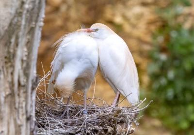 bioparc-parc-zoologique-heron-garde-boeuf
