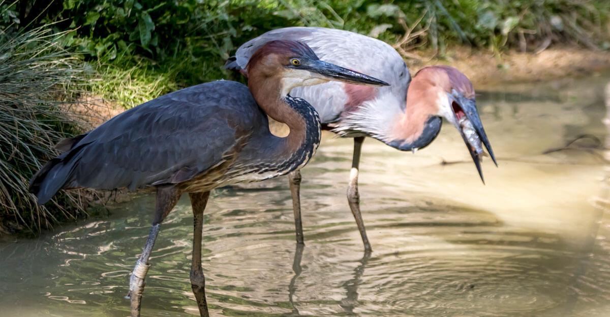 bioparc-parc-zoologique-heron-goliath