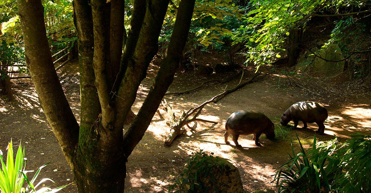 bioparc-parc-zoologique-hippo-pygmee