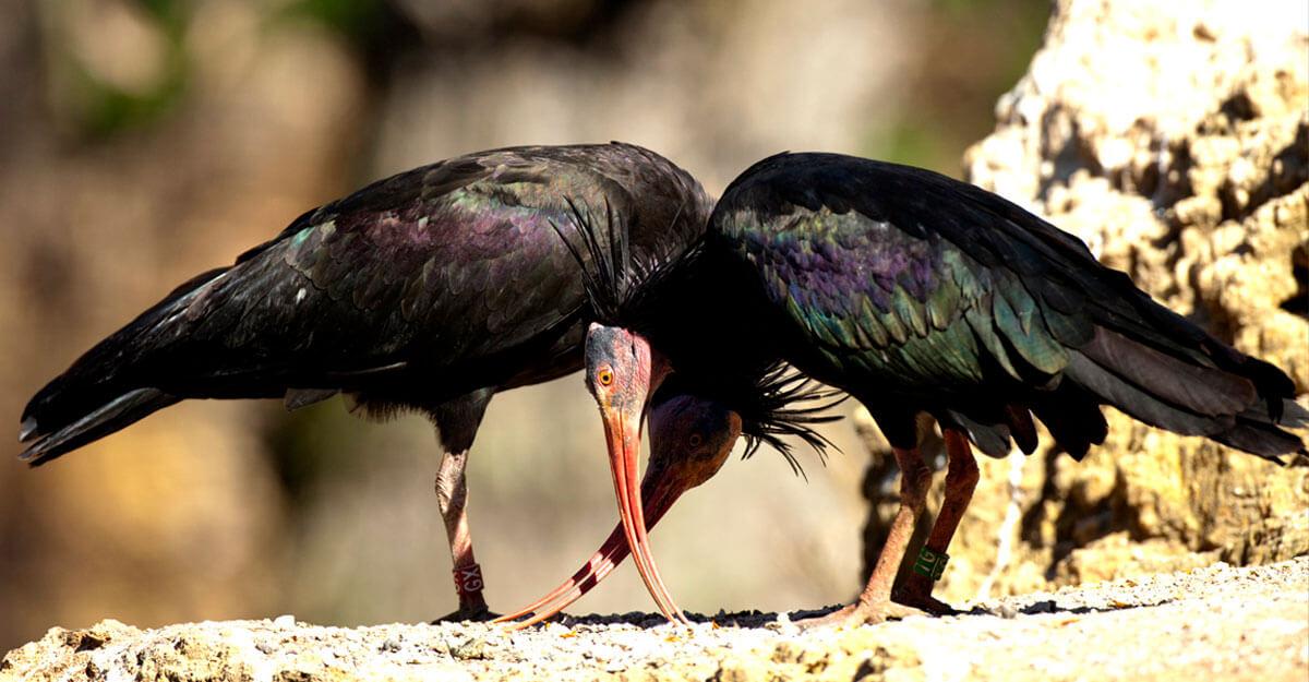 bioparc-parc-zoologique-ibis-chauve