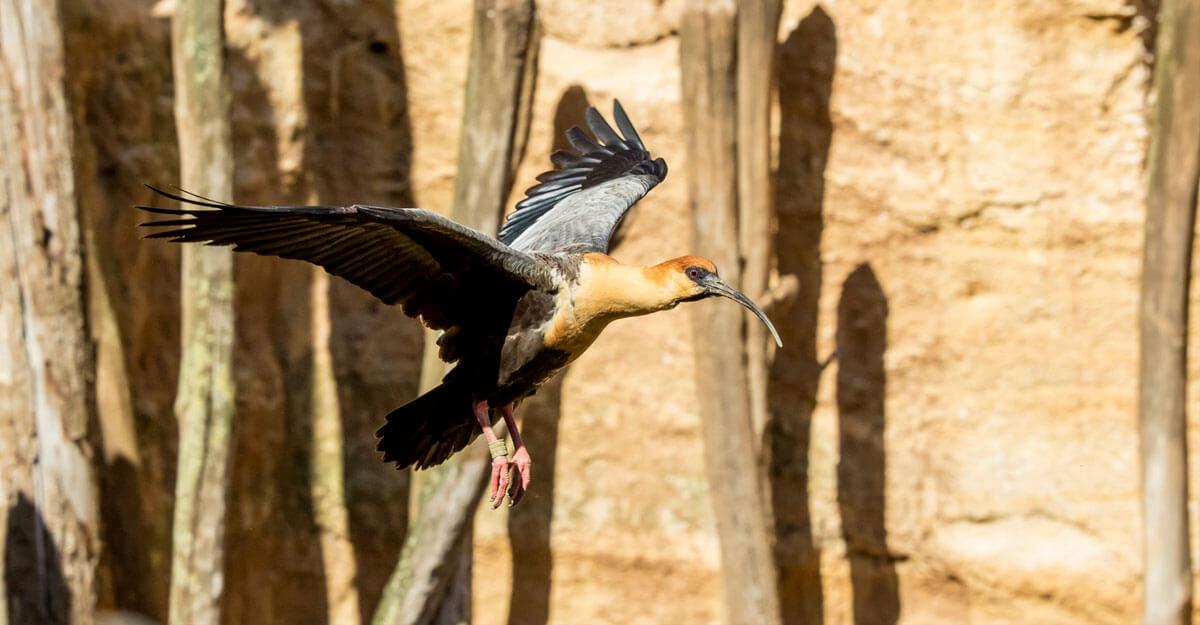 bioparc-parc-zoologique-ibis-face-noire