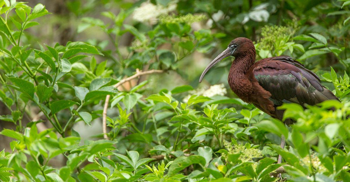 bioparc-parc-zoologique-ibis-falcinelle