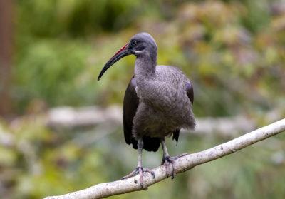 bioparc-parc-zoologique-ibis-hagedash