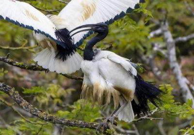 bioparc-parc-zoologique-ibis-sacre