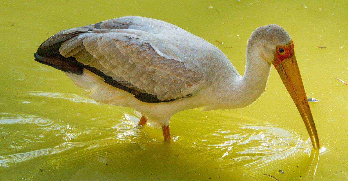 bioparc-parc-zoologique-ibis-tantale