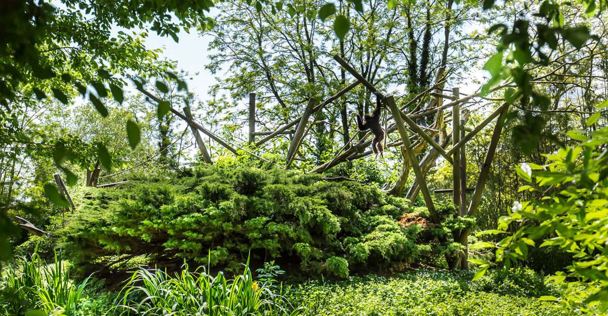 bioparc-parc-zoologique-ile-gibbons-mains-blanches