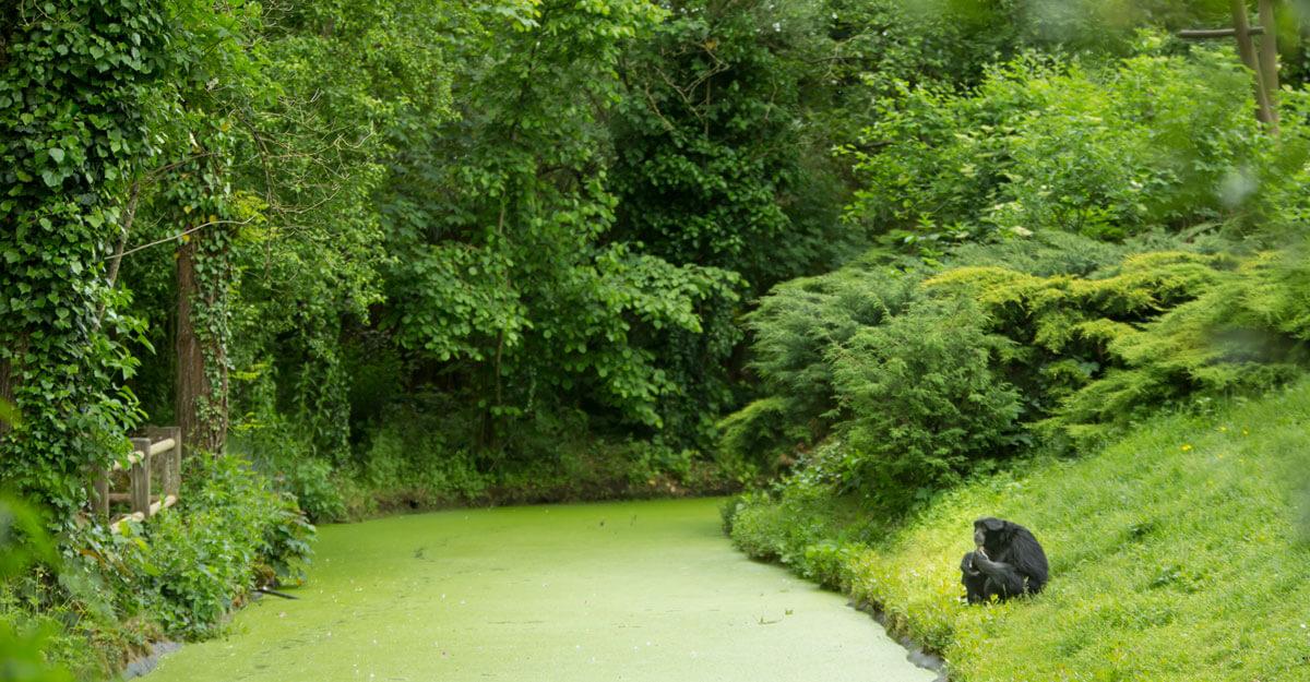 bioparc-parc-zoologique-ile-gibbons-siamang